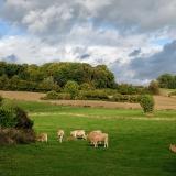 nabij  Frensjerhofke blonde des Aquitaines in Overgeul
