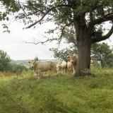 blonde des Aquitaine nabij frensjerhofke