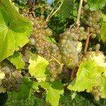 Kom wijndruiven plukken in Zuid limburg